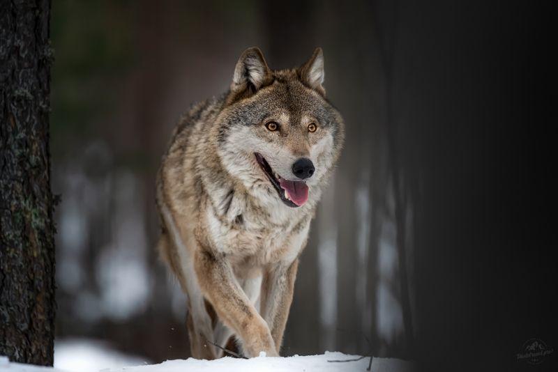 волк, wolf, красная шапочка, беларусь, красный бор, фототур в красный бор, фотоохота, canis lupus, red riding hood, серый волк, обыкновенный волк, евразийский волк, европейский волк, лось, сойка, выдра, вороны Красноборские сюжетыphoto preview