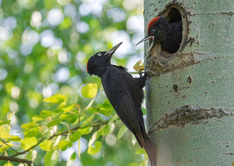 птица желна черный дятел Мать, дай пожрать!photo preview