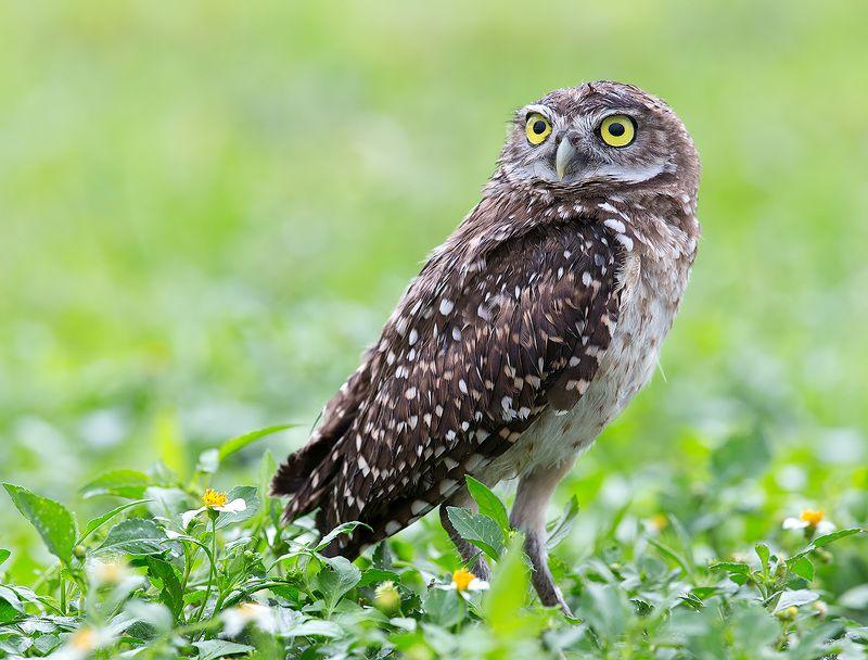 кроличий сыч, florida, burrowing owl, owl, флорида,сыч Burrowing Owl - Кроличий сычphoto preview