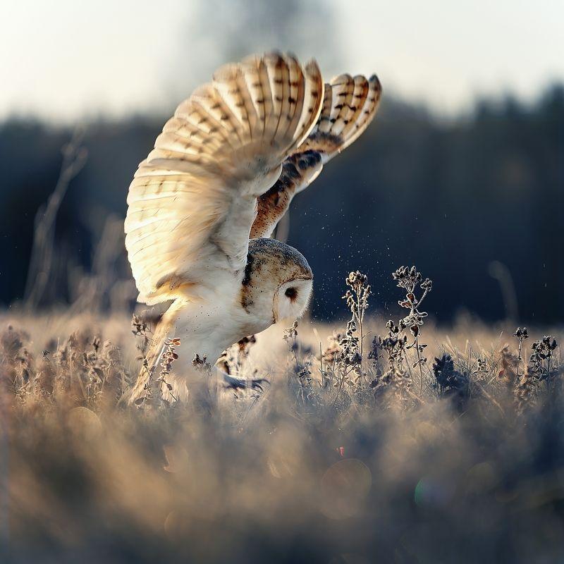 owl, winter, barn owl, wings, sunrise Sunrise with barn owlphoto preview