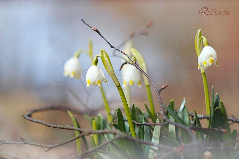 весна, spring, цветы, цветок, flowers, flower, blossom, bloom, подснежник, белый, white, боке, bokeh, макро, macro, closeup, snowdrops Первенцы Весны / The Firstborn of Springphoto preview