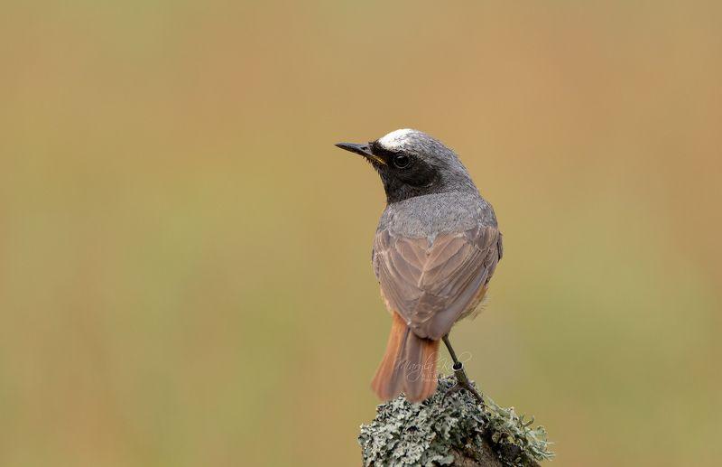 Birds, animals, nature, wildlife, canon Redstartphoto preview