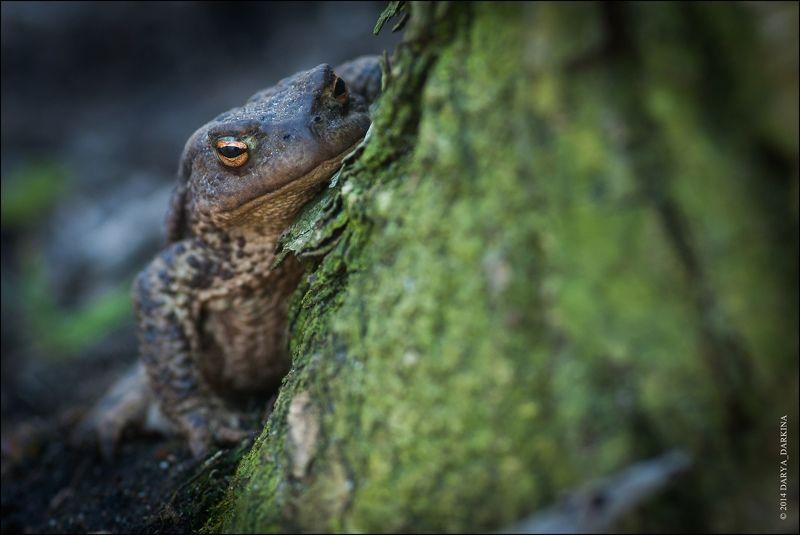 жаба, весна, глаза, животное, макро, природа, фауна, bufo, toad, eyes, nature, animal Я слежу за тобой!photo preview