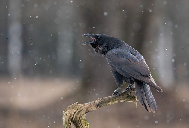 ворон, птицы, снег, Песня о веснеphoto preview