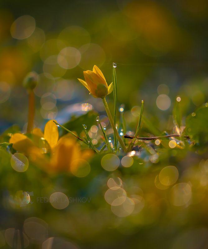 ставропольский край, цветы, природа, флора, лютик, цветок, первоцветы, роса, рассвет, макро, жёлтый, свет, золотой, блики, Хрустальное утро весны!photo preview