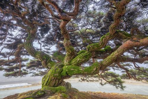 Old umbrella pine
