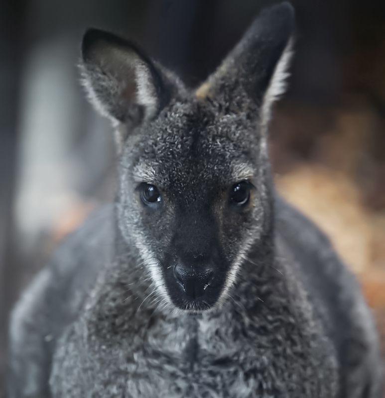 кенгуру, животные, animals, kangaroo Kangaroophoto preview