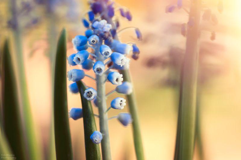 макро, природа, цветы, весна, мускари, macro, nature, flowers, spring, muscari, Мускариphoto preview