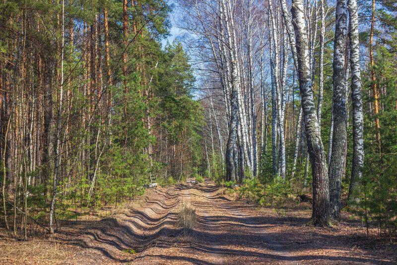 лес, весна, природа, берёзы, сосны photo preview