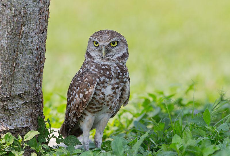 кроличий сыч, florida,burrowing owl, owl, флорида,сыч Burrowing Owl - Кроличий сычphoto preview