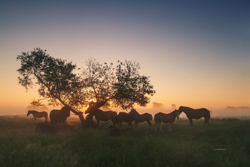 Horses, landscape, sunrise, fog, spring, Horses.  фото превью