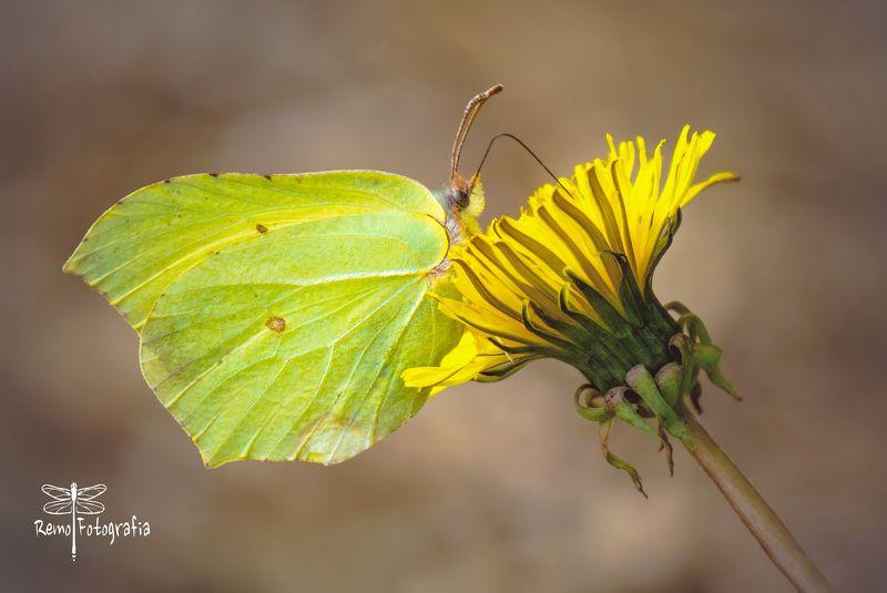 Gonepteryx rhamni- Latolistek cytrynek, listkowiec cytrynek.photo preview