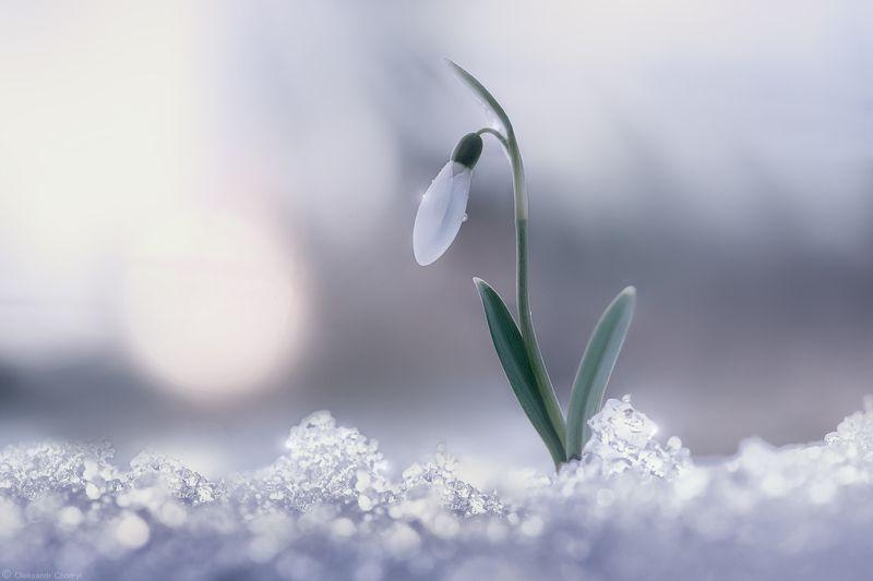 весна, подснежник, нежность, жизнь, радость, свет, солнце, мгновение, цветы, тайна, март, любовь, \