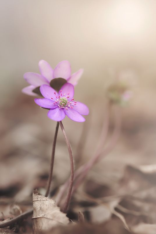 Hepaticaphoto preview