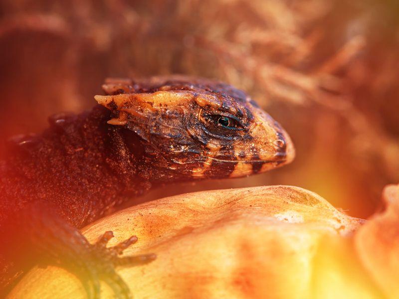 ящерица дракон макро огонь сцинк триболонотус Не будите дракона!photo preview
