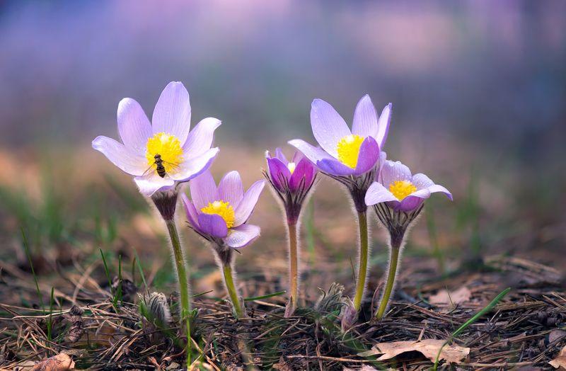 сон-трава Красота под ногамиphoto preview