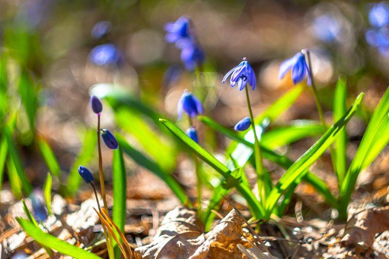 пролески, природа, подснежники, первоцвет, лес, весна photo preview