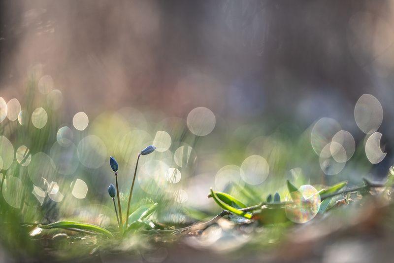 весна, первоцветы, пролески, цвет, свет, апрель,воронеж, позитив Сегодня утром весна...photo preview