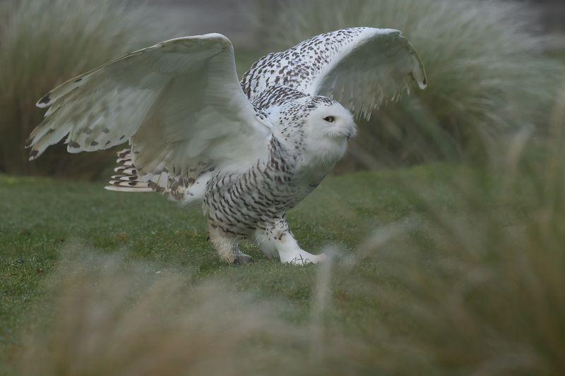 Snowy Owl, Birds, Birds of prey, Nature, Wildlife, Canon Snowy Owlphoto preview