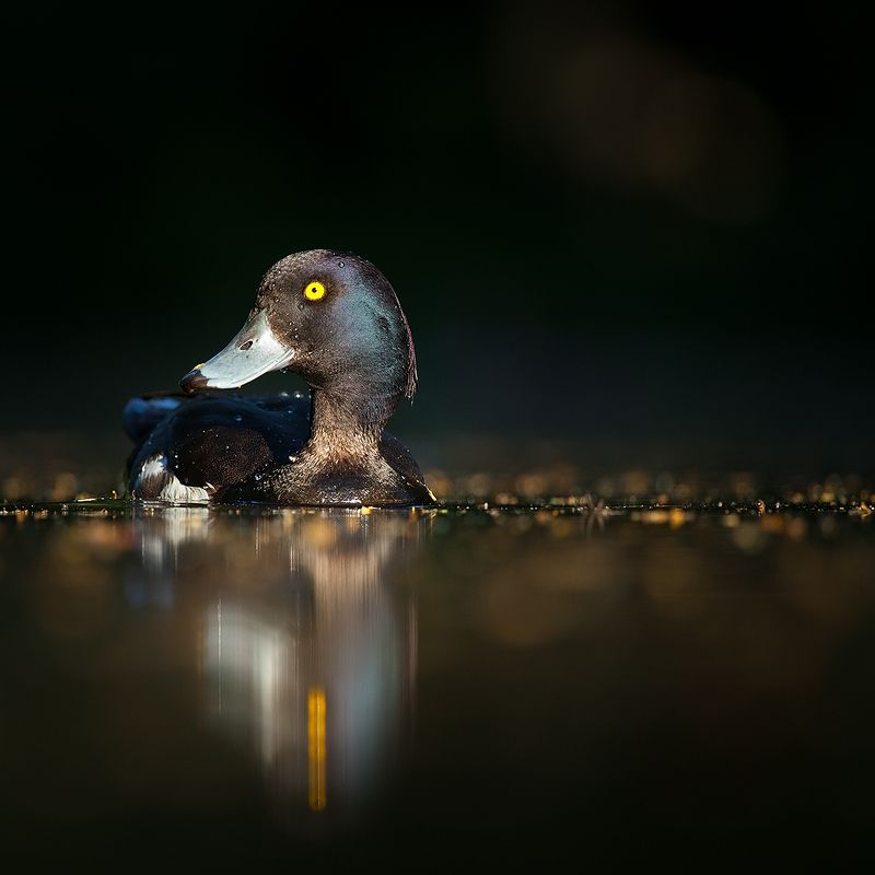 Tufted duckphoto preview