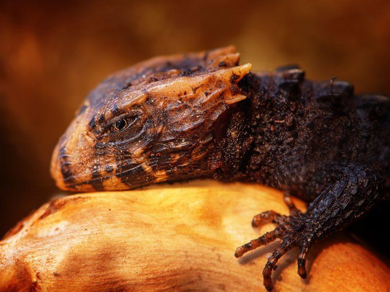ящерица дракон макро огонь сцинк триболонотус Дракон не дремлет.photo preview