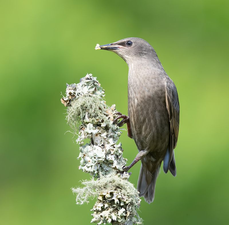 обыкновенный скворец, european starling, скворец, starling European Starling. Обыкновенный скворец слетокphoto preview