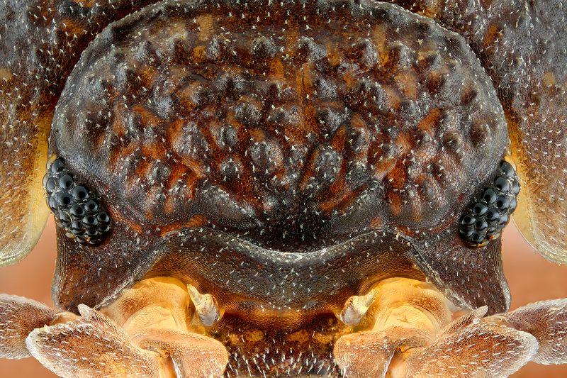 irass, waledzik, nat geo, olympus, close up, macro, extreme macro, макро Porcellio scaber.photo preview