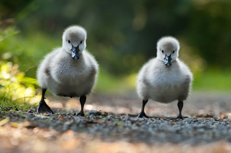 Black swansphoto preview