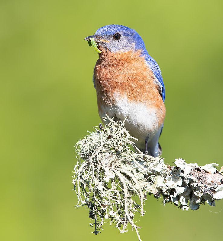 восточная сиалия, eastern bluebird, bluebird male Eastern Bluebird -Восточная сиалия. самецphoto preview
