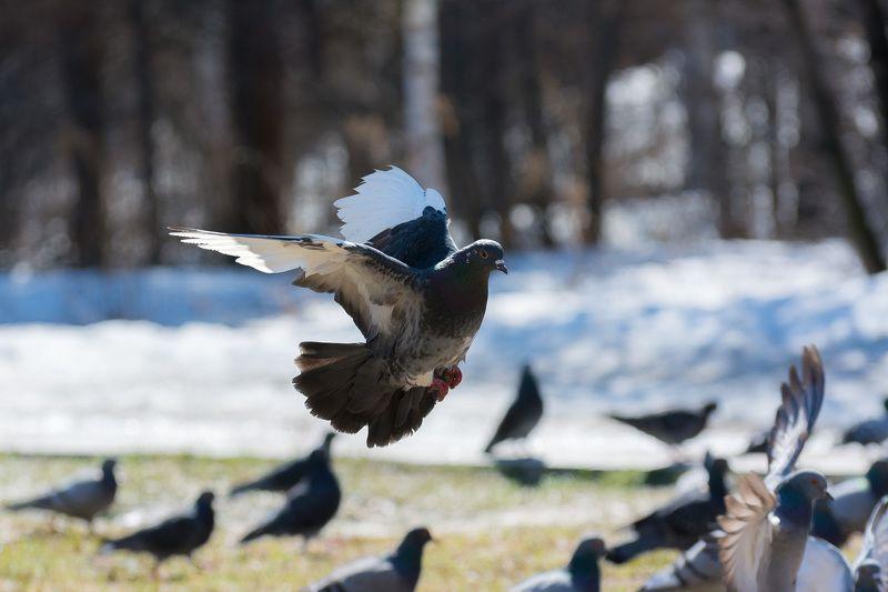 голубь, полёт, в полёте Полёты сизыхphoto preview