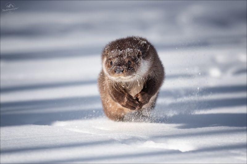 выдра, красный бор, беларусь, фотоохота, otter Речная выдраphoto preview