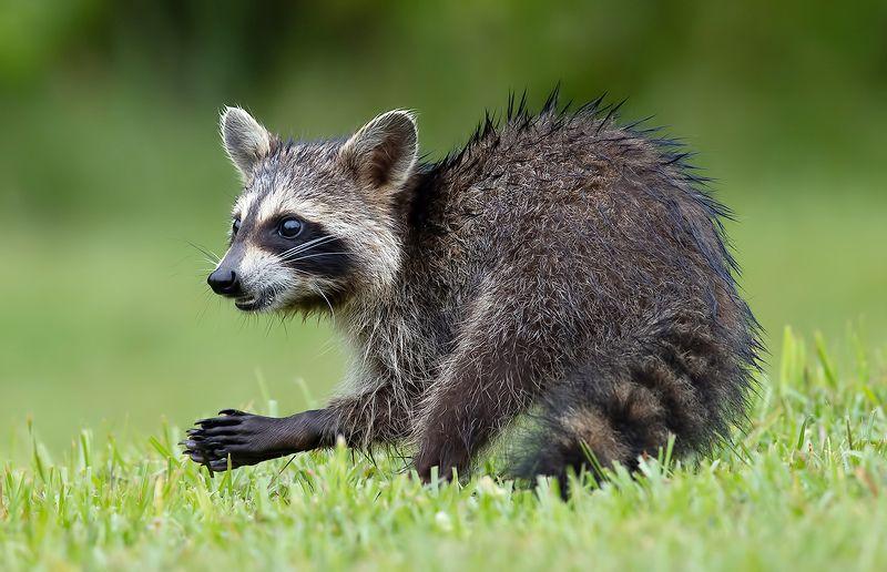 енот обыкновенный, енот-полоскун, raccoon, енот, дикие животные, животные, animals Young Raccoon. Енот-полоскун.photo preview