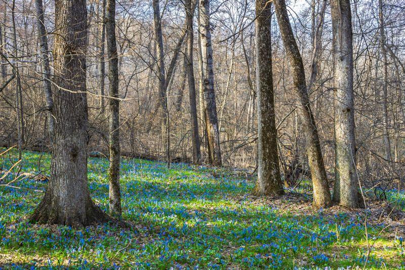 пролески, подснежники, первоцветы, лес, воронежский заповедник, весна photo preview