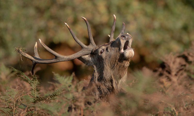 red deer, deer, animals, nature, wildlife, canon Red Deerphoto preview