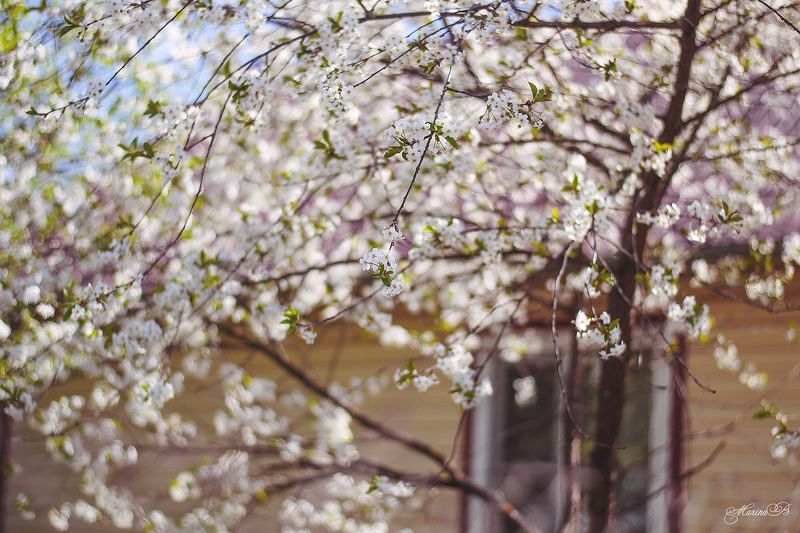 вишня, май, вишнёвый цвет, вишнёвый сад, дача Вишнёвый садphoto preview
