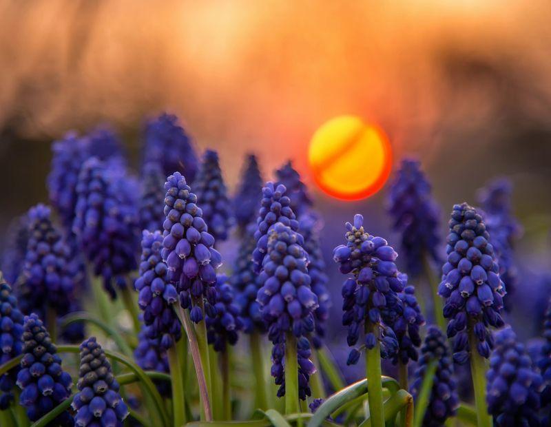 macro bokeh sun сапфиры flowers sunlight muscari mill blue violet spring sunset blue цветы  nature Muscari Millphoto preview