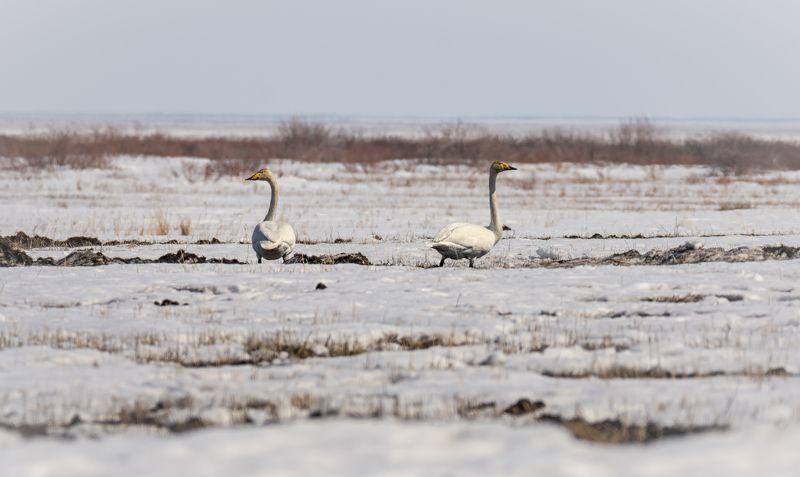 водоплавающие птицы, лебедь кликун, весна, степь, Лебедь - кликун в степи.photo preview