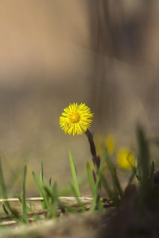 весна,цветы,гелиос,мать и мачиха Веснаphoto preview