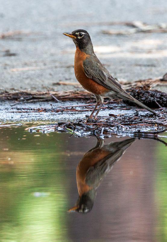 Несколько водных мгновений из жизни странствующего дроздаphoto preview