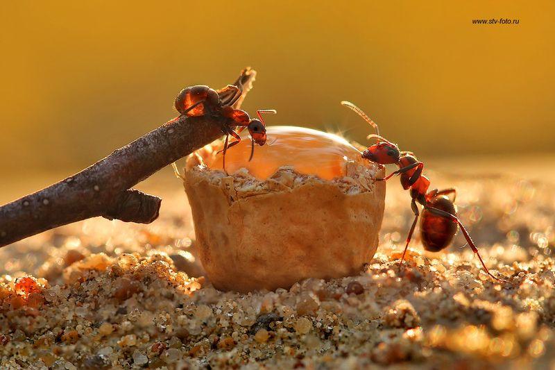 макро, муравей, муравьи, жажда, macro, ant Когда очень хочется пить...photo preview