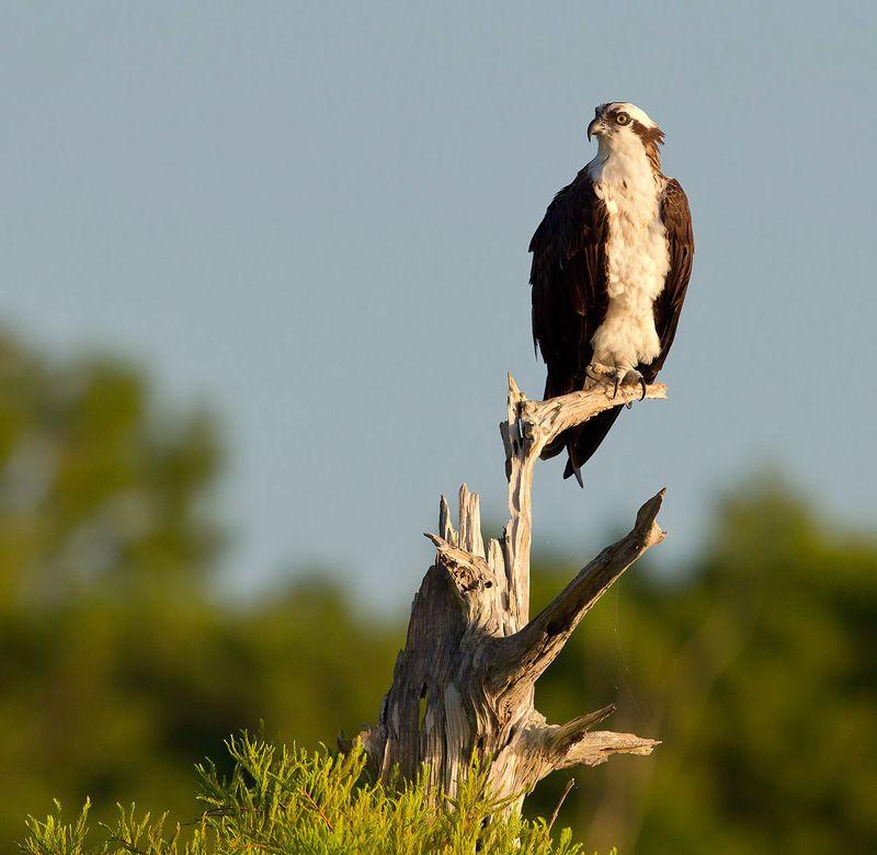 cкопа, osprey, florida, хищные птицы Скопа - Ospreyphoto preview