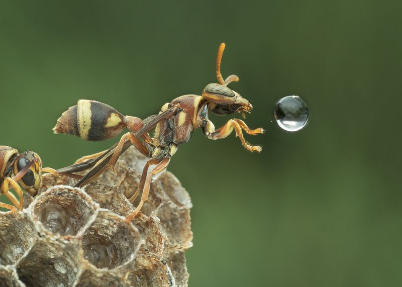 #macro#wasp#waterbubble#reflection#colors Wasp Blowing Water Bubblephoto preview