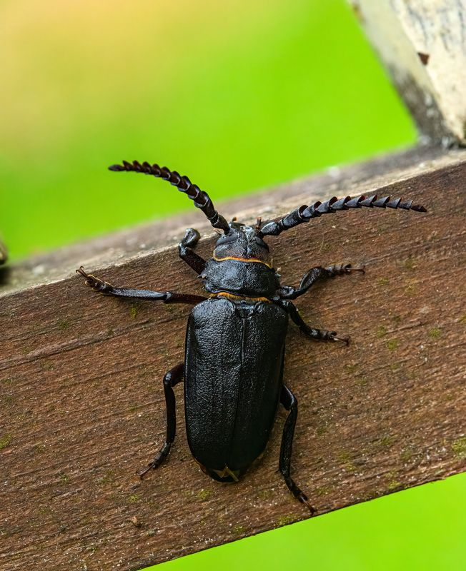 carpathian; cerambyx cerdo; forest; ukraine; animal; beatle; bright; close-up; closeup; details; eyes; insect; life; macro; macrophotography; micro; natural; nature; no people; object; summer; Cerambyx cerdo (great capricorn beetle)photo preview
