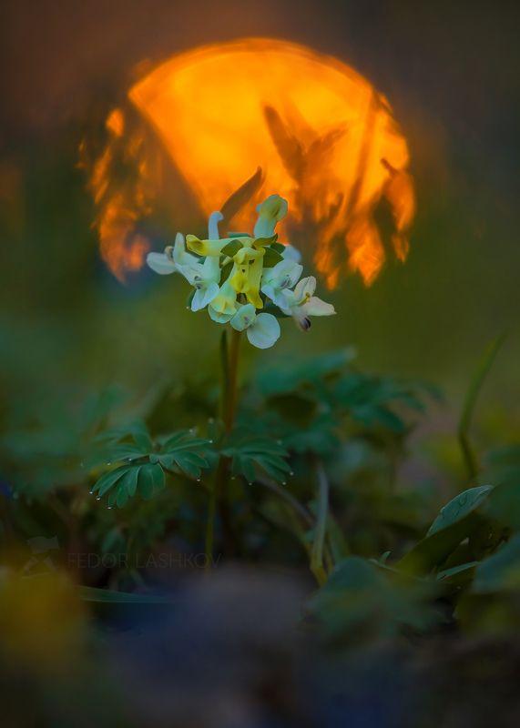 ставропольский край, цветы, природа, флора, пролески, хохлатка, цветок, первоцветы, роса, рассвет, макро, жёлтый, свет, золотой, блики, солнце, Весеннее солнцеphoto preview