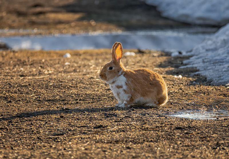 весна, вечер, солнце,  кролик,  апрель, проталина, ушастый ..на солнечной проталине..photo preview