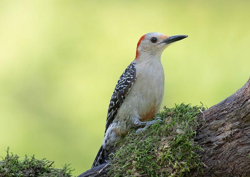 дятел, каролинский меланерпес, red-bellied woodpecker, woodpecker Red-bellied Woodpecker female - Cамка. Каролинский меланерпесphoto preview