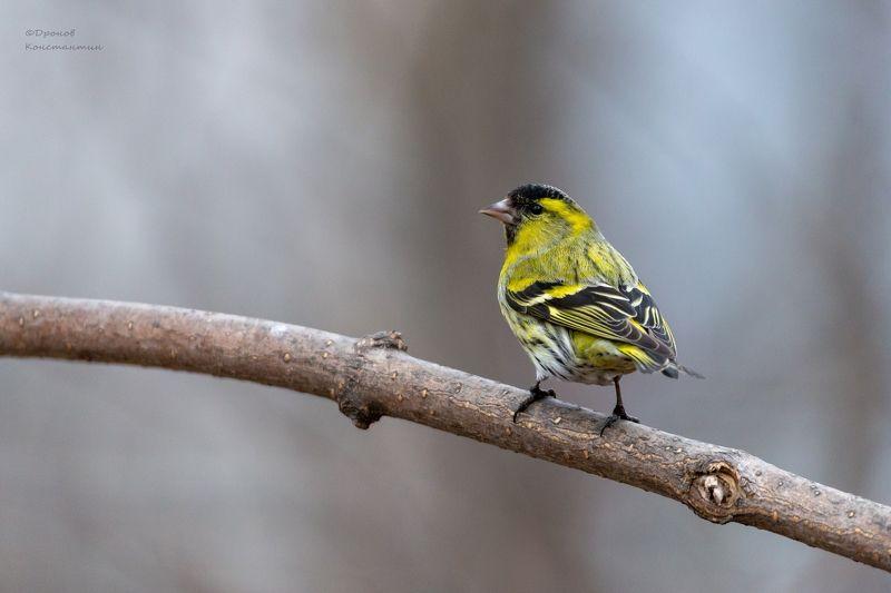 птицы, фотоохота, чижик Чижикphoto preview