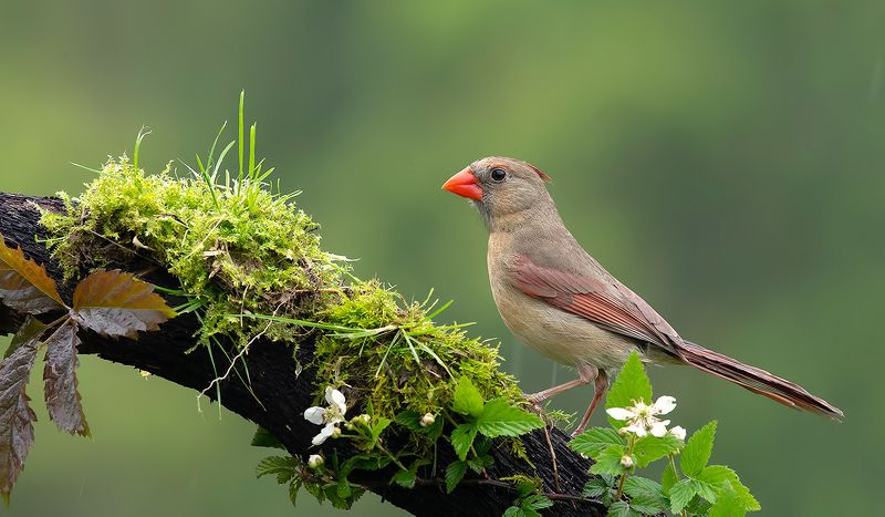 красный кардинал, northern cardinal, cardinal,кардинал Female Northern Cardinal  - Красный кардинал самкаphoto preview