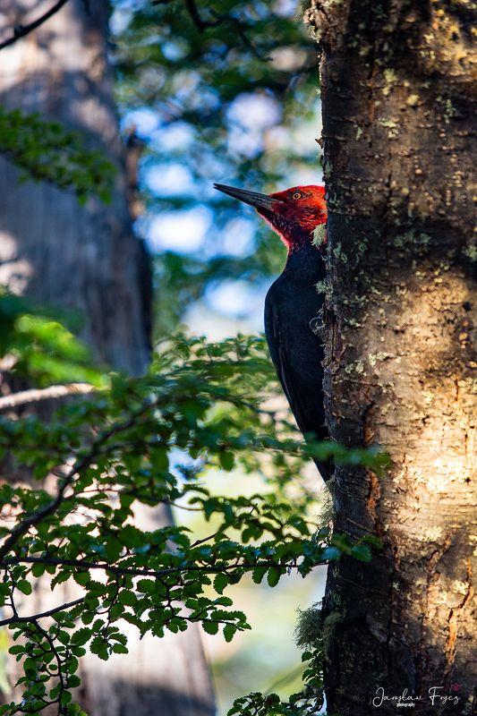 Magellanic Woodpeckerphoto preview