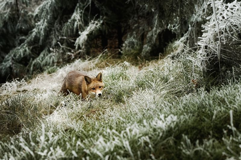 fox, red fox, winter, frost, snow Surprisedphoto preview